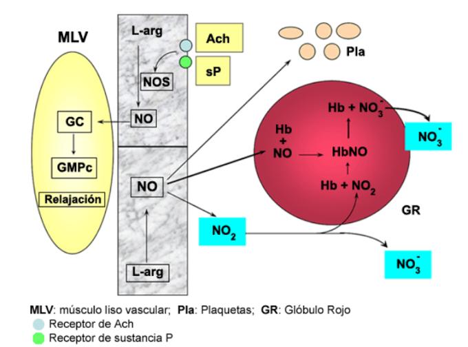 Óxido Nítrico: beneficioso para los músculos - Blog MASmusculo