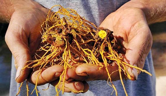 El Sello de Oro, una hierba valiosa